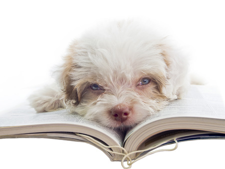 concept of student bored with homework - english puppy dozy over reading a book