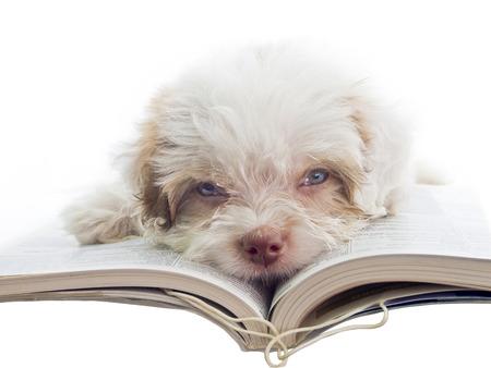 Konzept der Schüler bei den Hausaufgaben langweilen - Englisch Welpen dozy über ein Buch zu lesen