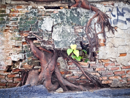 ruin concrete wall with big tree root photo