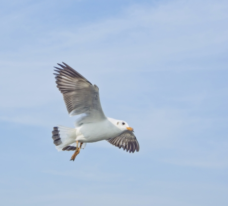 spanned: seagull in flying action with full wings spanned Stock Photo