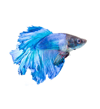 half moon tail: Half Moon fighting fish isolated on white background