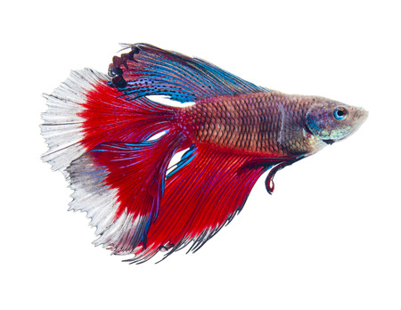 betta: double tail siamese fighting fish, betta splendens isolated on white background