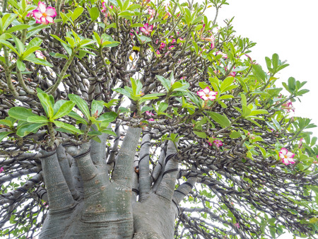 mock azalea: Adenium obesum tree also known as Desert Rose, Impala Lily, Mock Azalea, tropical tree