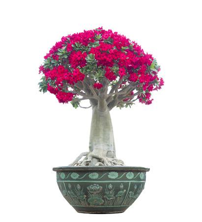 obesum: Adenium obesum tree also known as Desert Rose, Impala Lily, Mock Azalea, tropical tree