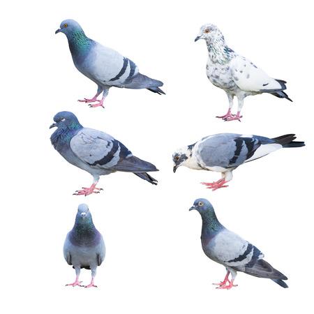 duif vogels geïsoleerd op wit Stockfoto
