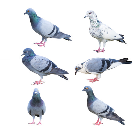 pigeon birds isolated on white