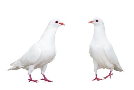 paloma blanca: paloma blanca aislado en blanco