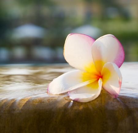 Plumeria Blume auf Schwimmbad
