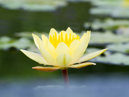 religious symbols: beautiful water lily on pond