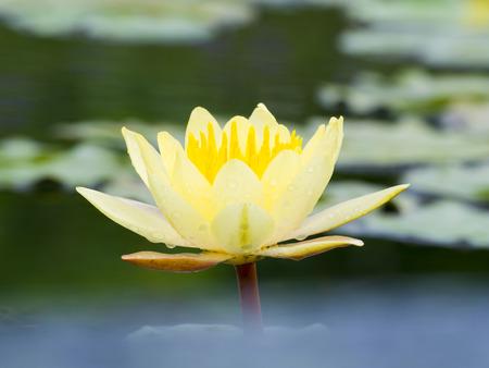 simbolos religiosos: hermoso lirio de agua en la charca Foto de archivo