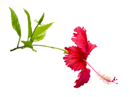 red Hibiscus,Tropical flower on white