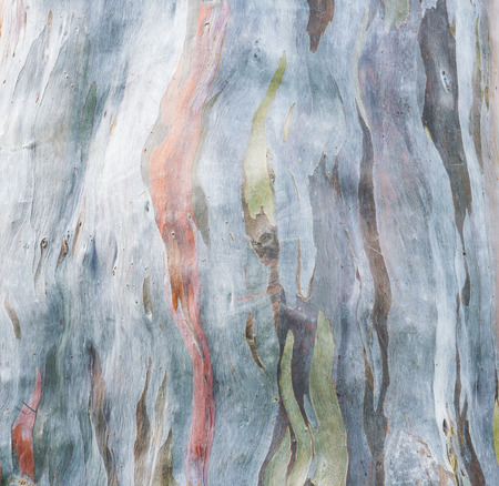 colorful tree: colorful tree bark on nature