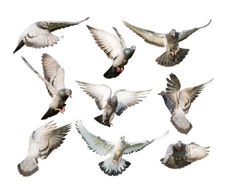 흰색 배경에 격리 된 비행 비둘기의 다른 작업