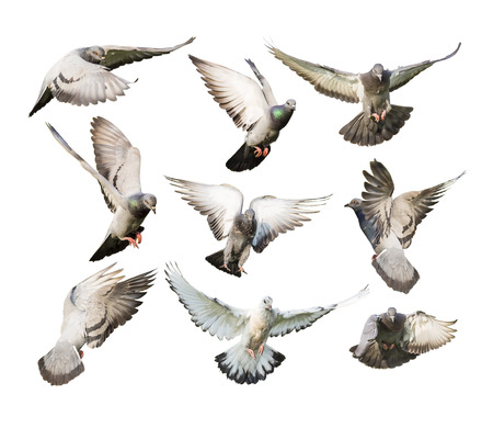 different actions of flying pigeon isolated on white