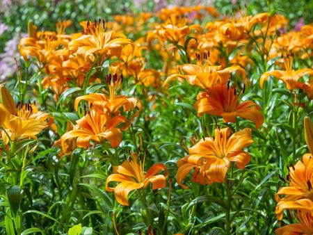 lily flowers: flores de lis de color naranja, jard�n al aire libre