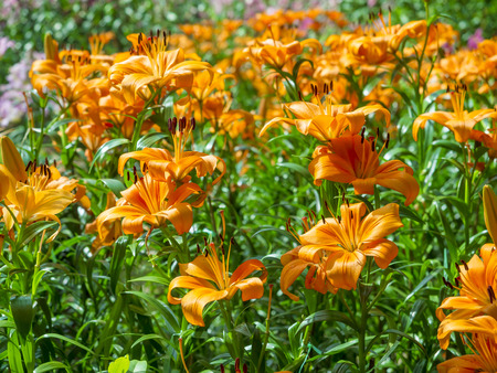 lily flowers: lily flowers orange color, outdoor garden