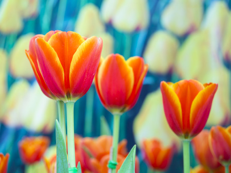 spring flowers: beautiful flowers on the outdoor garden, orange tulips