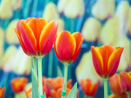 arreglo de flores: hermosas flores en el jardín al aire libre, tulipanes naranja