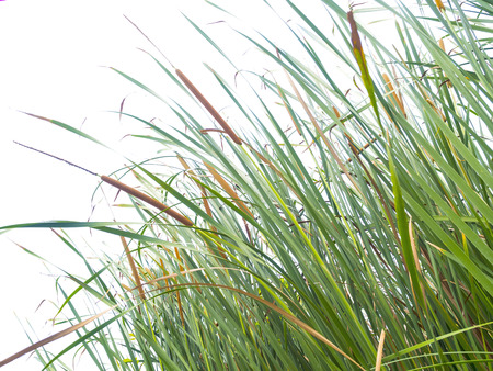 bullrush: green grass meadow on white background Stock Photo