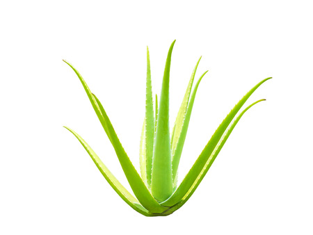 aloe vera plant isolated on black