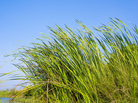 aquatic herb: green water plants in tropical wetland, Typha Angustifolia in a natural pond blowing in the wind, outdoor on blue sky background, their long leaves showing pure and free emotion