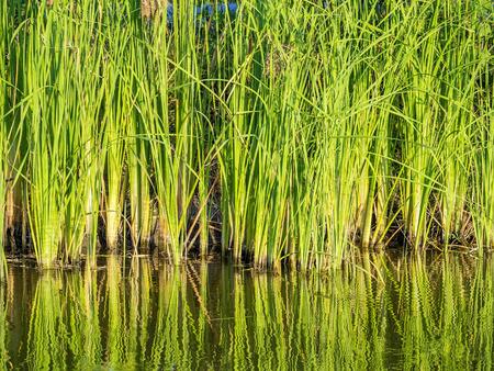 plantas acuaticas: plantas de agua verdes en humedal tropical, Typha angustifolia en un estanque natural soplando en el viento, al aire libre en el fondo del cielo azul, sus largas hojas que muestran la emoci�n pura y libre Foto de archivo