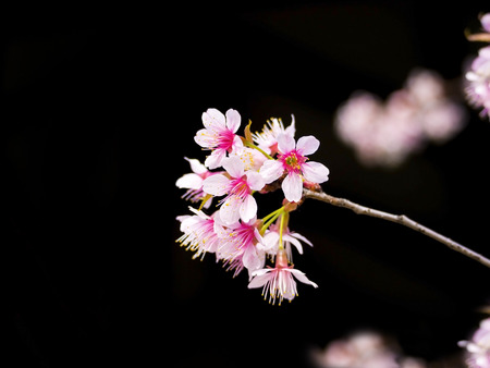 black backgound: beautiful cherry flowers blooming on black backgound, outdoor