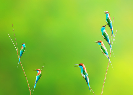 prin: Blue-throated Bee-eater bird on the branch in a forest meadow