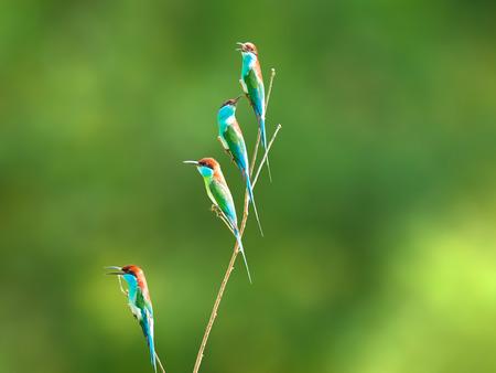 """prin: pájaro """"de garganta azul Abejaruco"""" en la rama en una pradera del bosque"""