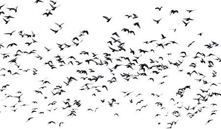 palomas volando: muchas palomas que vuelan en el aire aislado en el fondo blanco