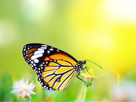 gautama: beautiful butterfly on a flower in the outdoor nature