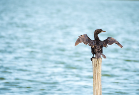 sea bird (Microcarbo niger) standing on the wooden pole
