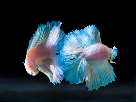 fighting fish: beautiful siam fighting fish on black, people feed then as a pet in aquatic hobby