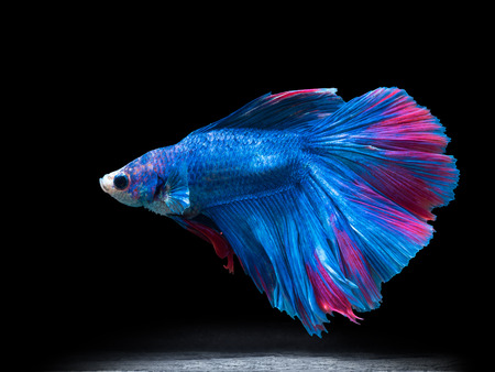 aquarium hobby: beautiful siam fighting fish on black, people feed then as a pet in aquatic hobby