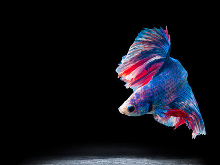 half moon tail: beautiful siam fighting fish on black, people feed then as a pet in aquatic hobby