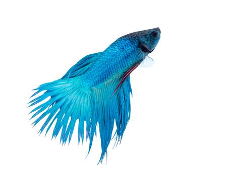 fighting fish: beautiful siam fighting fish on white