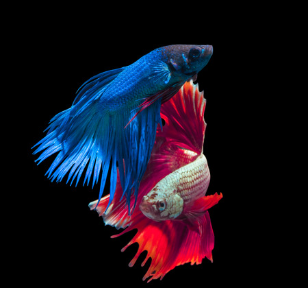 half moon tail: beautiful siamese fighting fish on black, people feed it as a pet in aquatic hobby Stock Photo