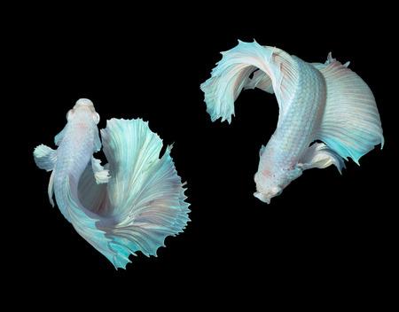 aquarium hobby: beautiful siamese fighting fishes on black
