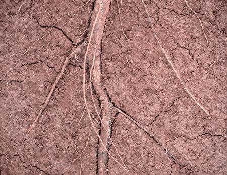 raíz de planta: raíz del sistema de la planta en el suelo bajo tierra, mostrando rama y grietas Foto de archivo