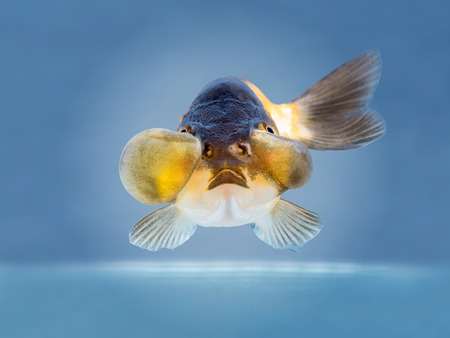 golden fish: beautiful golden fish on bright blue background