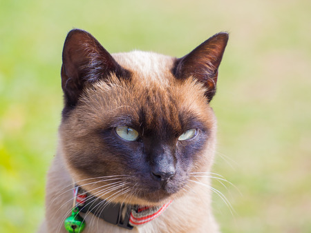 siamese cat: close up of Siamese cat named Moon Diamond or seal brown, also called Wichianmas on the blur background