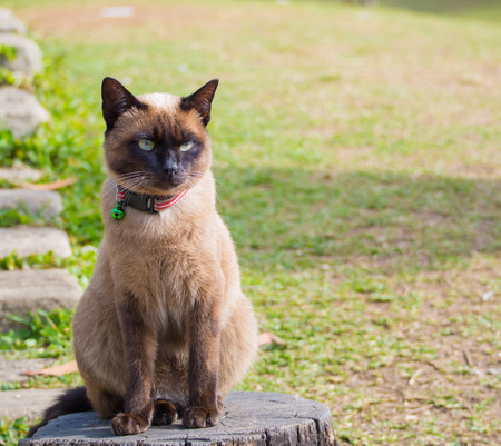 siamese cat: close up on Siamese cat named Moon Diamond or seal brown, also called Wichianmas on the blur background
