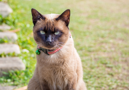 seal brown: close up on Siamese cat named Moon Diamond or seal brown, also called Wichianmas on the blur background