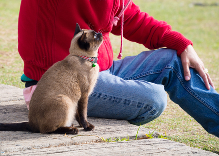 siamese cat: Siamese cat named Moon Diamond or seal brown, also called Wichianmas on the blur background