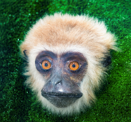 primate: close up on monkey face, the mammal primate in exhibition