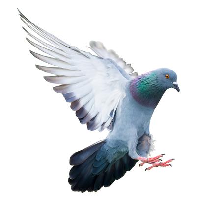 액션에서 비행 비둘기 조류 흰색 배경에 고립 스톡 콘텐츠