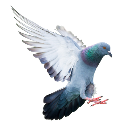 paloma de la paz: pájaro de vuelo de la paloma en la acción aislada en el fondo blanco
