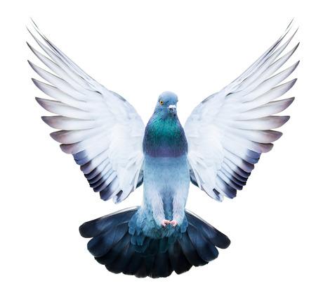 bandada pajaros: pájaro paloma doméstica en la acción del vuelo aislado en el fondo blanco