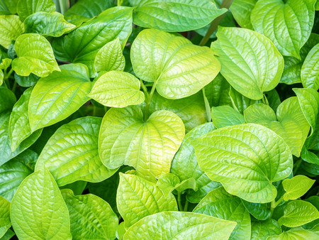 sulfate: Plu (Houttuynia cordata Thunb),Vegetables and herbs, medicinal substance in it leaves