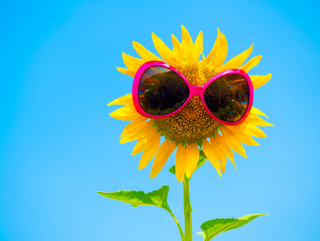 sun glasses on sunflowers on the plantation farm, outdoor agriculture Stock Photo